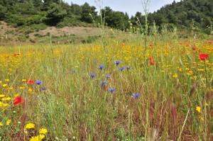 Blumenwiese auf Korfu